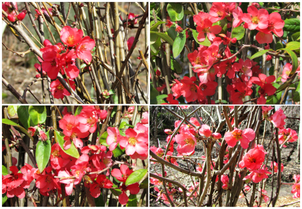 Red Quince blossoms, Sonoma Horticultural Nursery ~Sonoma County