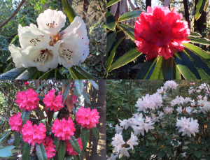 Sonoma Horticultural Nursery Early Blooming Rhododendrons