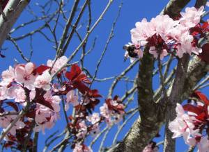 Flowering Cherry blossoms, Sonoma County
