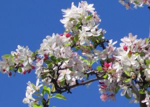 Crabapple, Malus blossoms