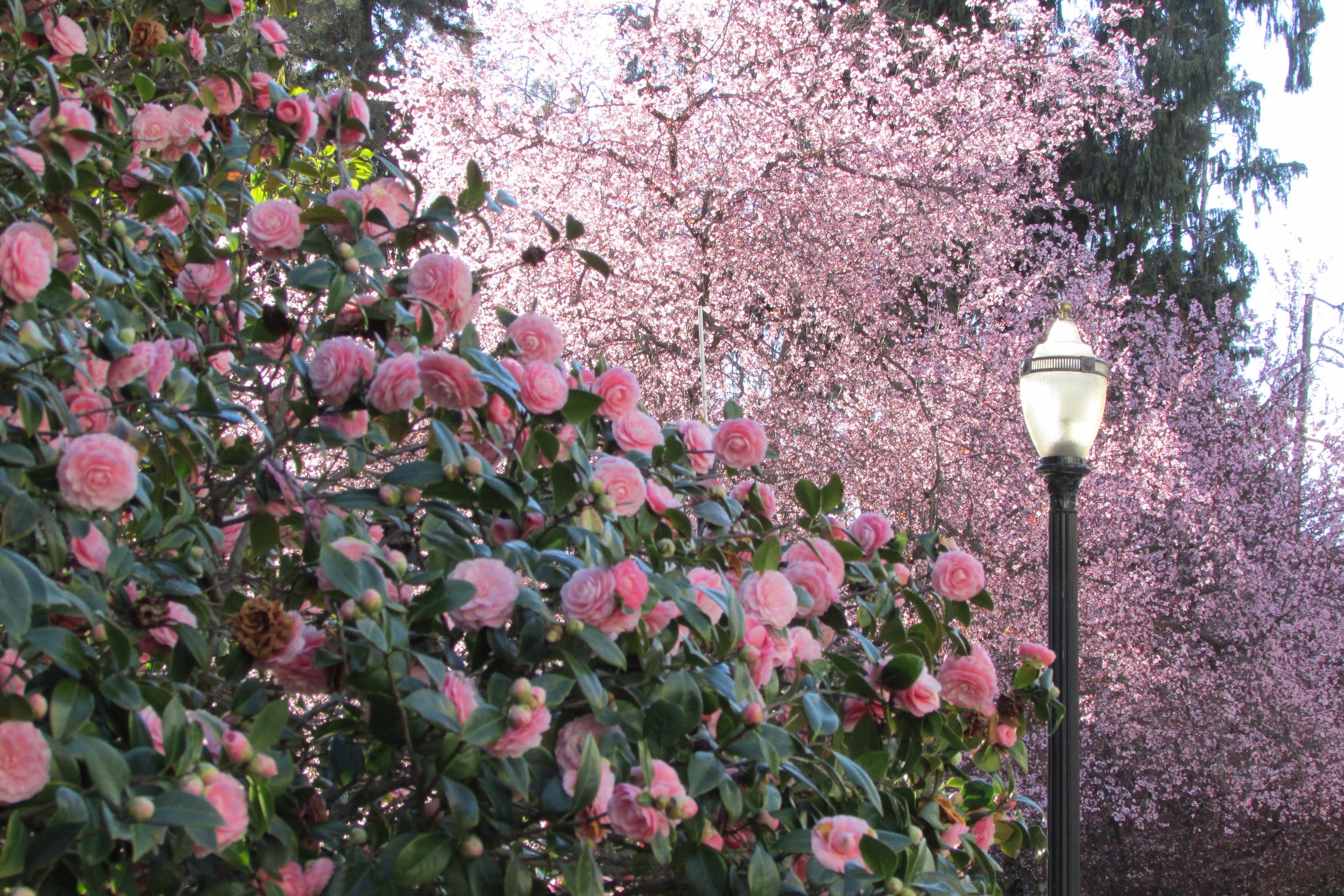 Camellias ~ State Capitol Gardens, Sacramento, CA