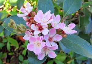 Indian Hawthorn Rhaphiolepis indica