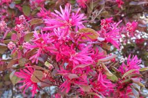 Loropetalum chinense var. rubrum, fuchsia-pink blossoms