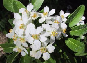 Mexican Orange blossoms