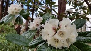 Rh Grande rhododendron