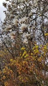 White tulip magnolia